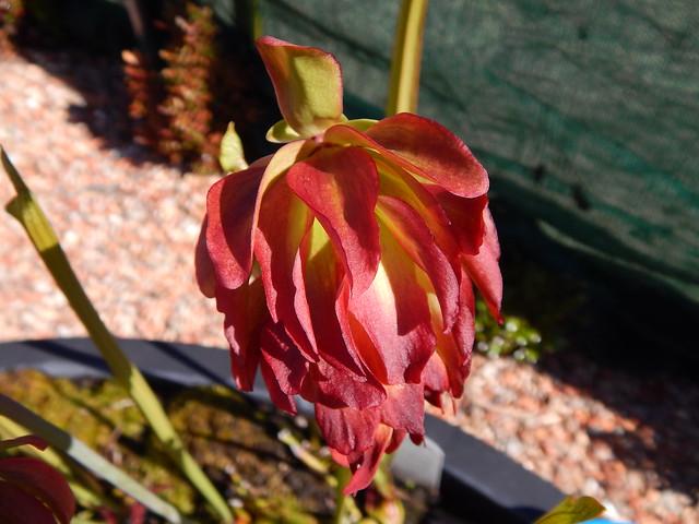 """Sarracenia leucophylla """"Tarnok"""", flower"""