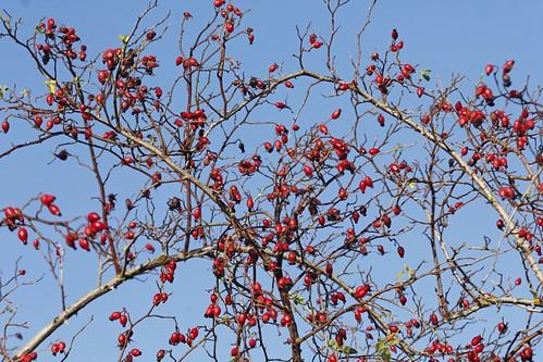Berries and blue skies