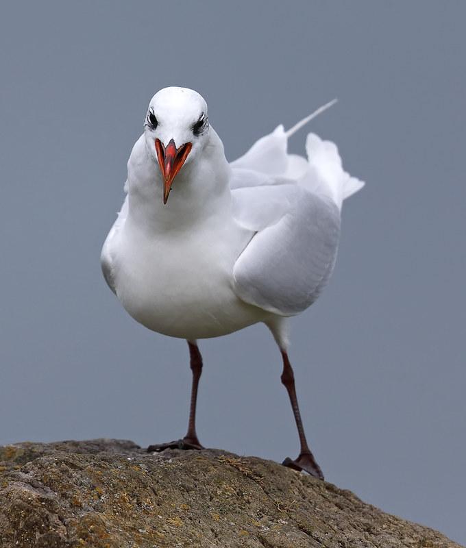 Adult Mediterranean Gull