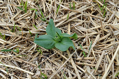 Fava Bean Seedling
