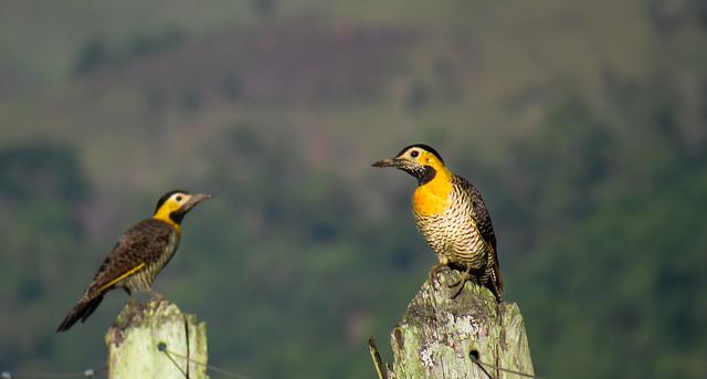 pica-pau-do-campo (Colaptes campestris) Campo Flicker