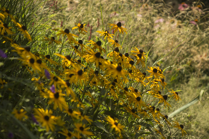 rudbeckia in sun
