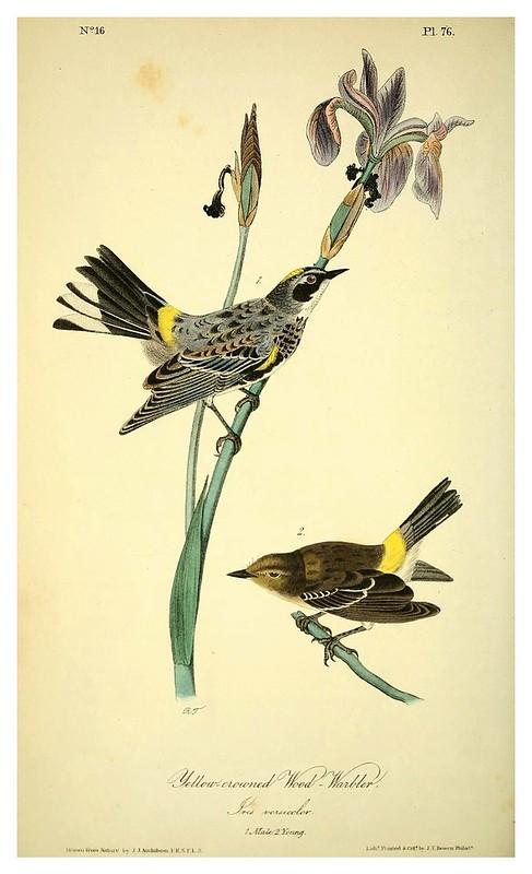006-Curruca de la madera coronada-Vol2-1840-The birds of America…J.J. Audubon