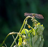 Dragonfly in green. by CallieAndToby