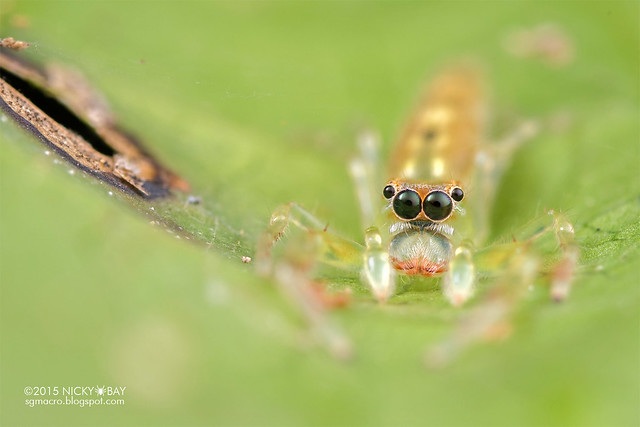 Jumping spider (Itata sp.) - DSC_4160