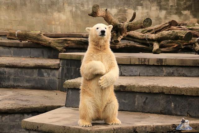 Eisbär Fiete im Zoo Rostock 19.09.2015 Teil 2  040