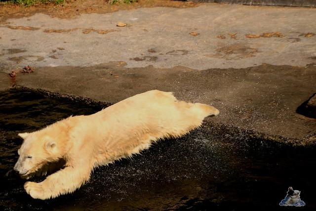 Eisbär Fiete im Zoo Rostock 06.09.2015  0207