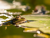 The Frog by Klaus Lechten