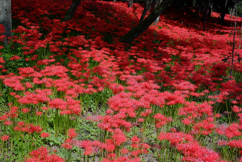 red spider lily field
