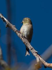 American Goldfinch (Spinus tristis)