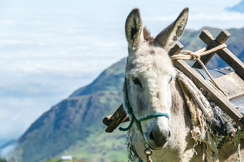 southamerica animals ecuador donkey animali ec asino cañar