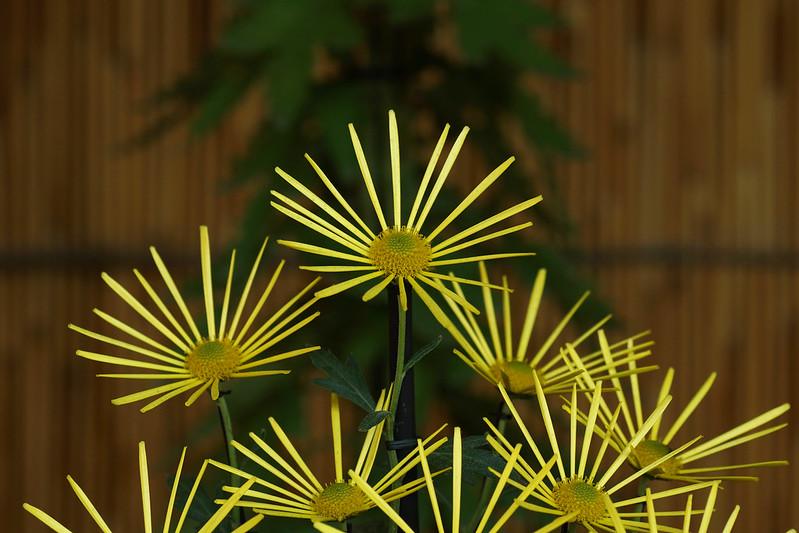 Chrysanthemum morifolium 'HIGOGIKU'  肥後菊