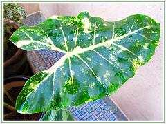 Alocasia macrorrhizos 'Variegata' (Variegated Giant Alocasia/Taro/Elephant Ear, Variegated Upright Elephant Ears) at our courtyard, Nov 15 2013