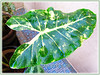 Alocasia macrorrhizos 'Variegata' (Variegated Giant Elephant Ear, Variegated Giant Alocasia, Variegated Giant Taro, Variegated Upright Elephant Ears)