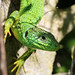 Western Green Lizard (Jim Higham)