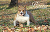 Exotic Mini American Bully 10 month old puppy by Rock City Kennels