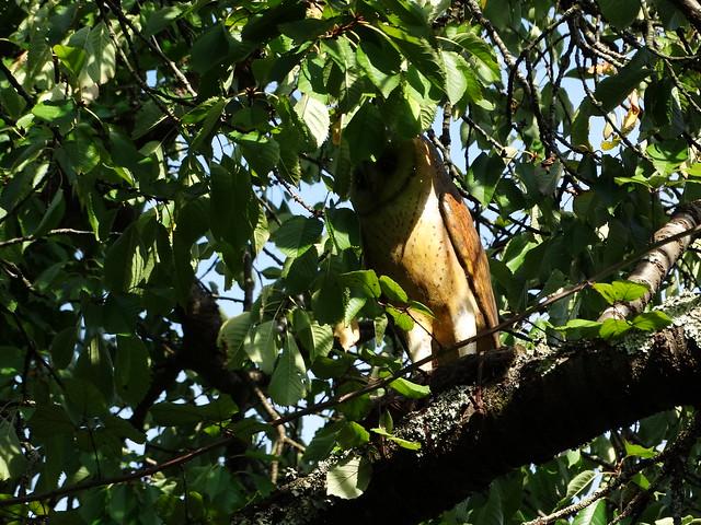 Curuxa en la Ruta Ornitológica del Bosque Animado