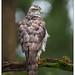 Northern Goshawk (male) -  Havik (man)  (Accipiter gentilis) by Martha de Jong-Lantink