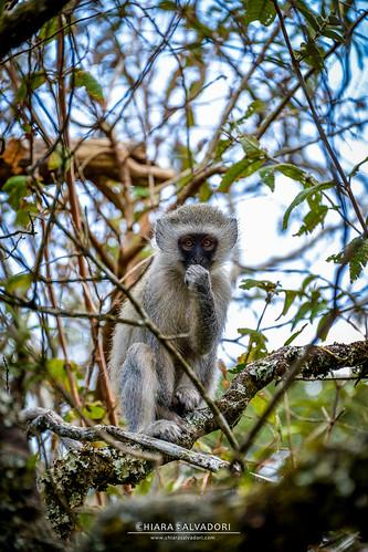 africa travel winter sea wild green nature colors animals rock landscape southafrica monkey spring scenery view outdoor canyon valley vegetation traveling mpumalanga godswindow blyderivercanyon sudafrica grivet africangreenmonkey