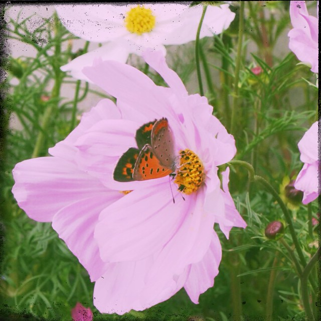 Butterfly on pink cosmos flower