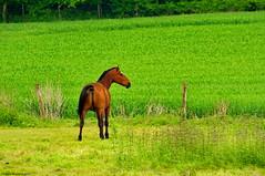 Le cheval au prè