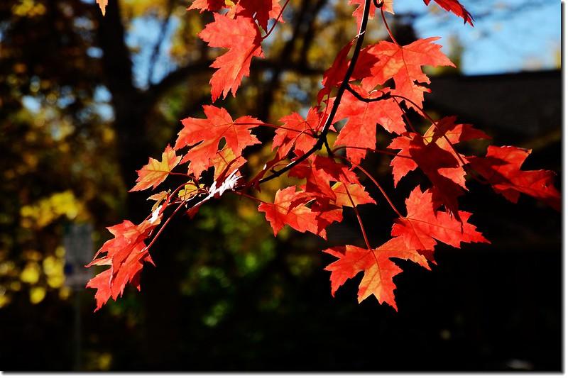 Sugar maple leaves (16)
