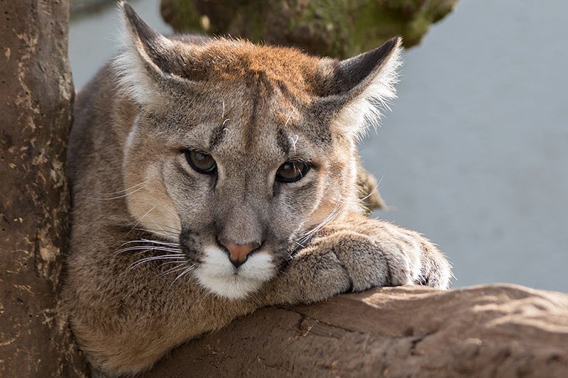 Wildlife in British Columbia, Canada: Cougar (Puma concolor)
