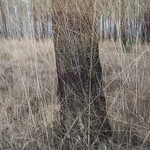 Rans Wood