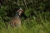Countryside bird