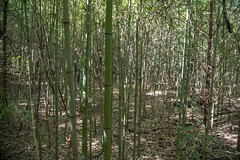Bamboo - O.P. Schnabel Park - San Antonio - Texas - 18 September 2017