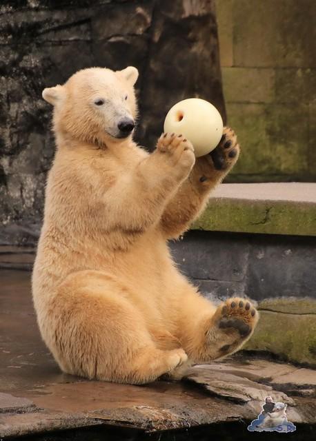Eisbär Fiete im Zoo Rostock 05.09.2015  0345