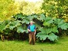 Giant Rhubarb by the Bell Tower.