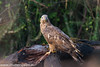 Oriental Honey Buzzard by uttampegu