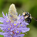 Leafcutter Bee (Megachile sp.) on Pickerelweed (Pontederia cordata) by Mary Keim