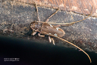 Longhorn beetle (Plagiohammus spinipennis) - DSC_7279