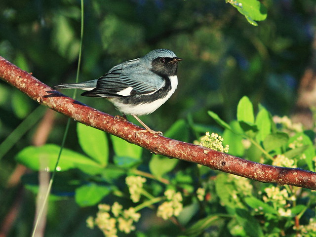 Black-throated Blue Warbler 20151014
