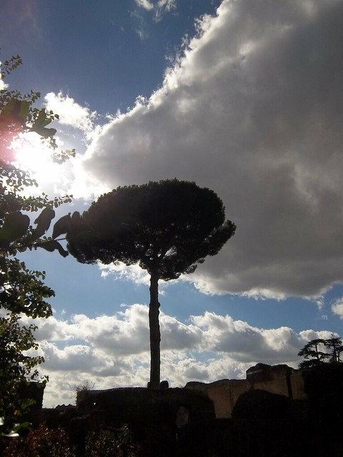 Umbrella pine in the Roman light