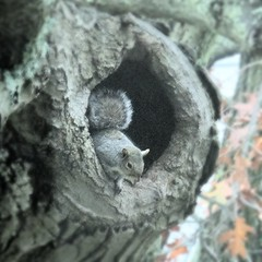 Gray squirrel in oak tree