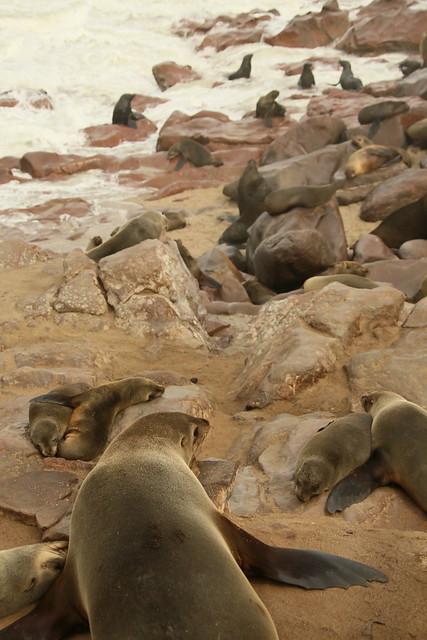 Resident Seals. Cape Cross