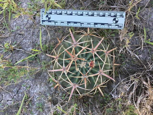 Horse Crippler Cactus (Echinocactus texensis) - 2