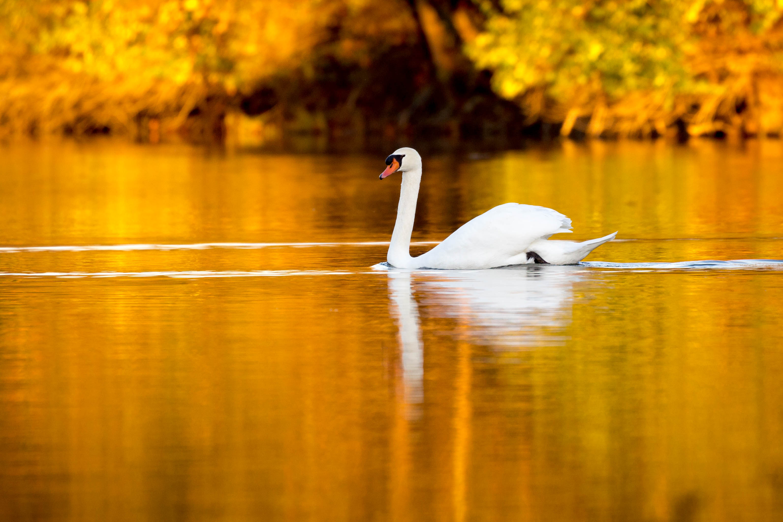 Illinois vermilion county armstrong - Bird Nature Animal Illinois Swan Unitedstates Outdoor Wildlife Oakwood Muteswan Cygnusolor Cygnus