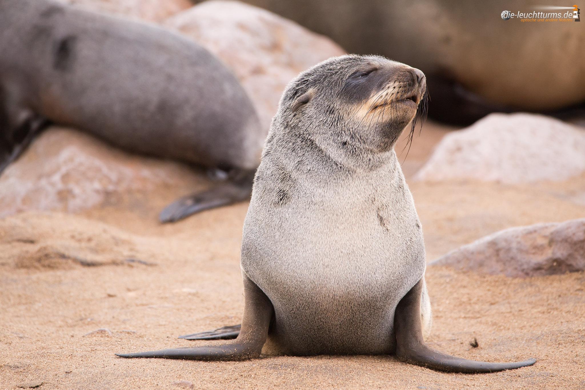 Brown fur seal cub