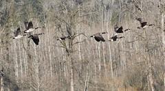 Sikes lake geese