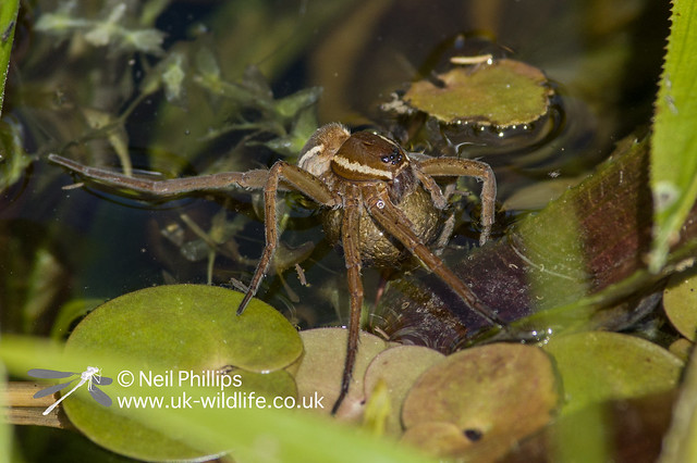 Fen raft spider female wetting her egg cocoon
