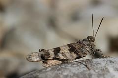 Blue-winged Grasshopper - Oedipoda caerulescens