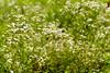 Field of daisy fleabane by snapify