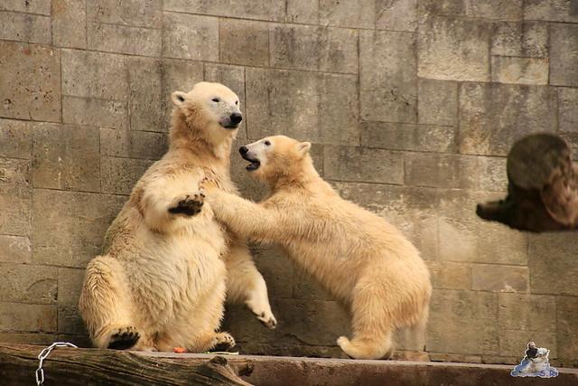 Eisbär Fiete im Zoo Rostock 19.09.2015 Teil 2  0111