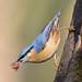 Nuthatch  Sitta Europaea by billoddie3