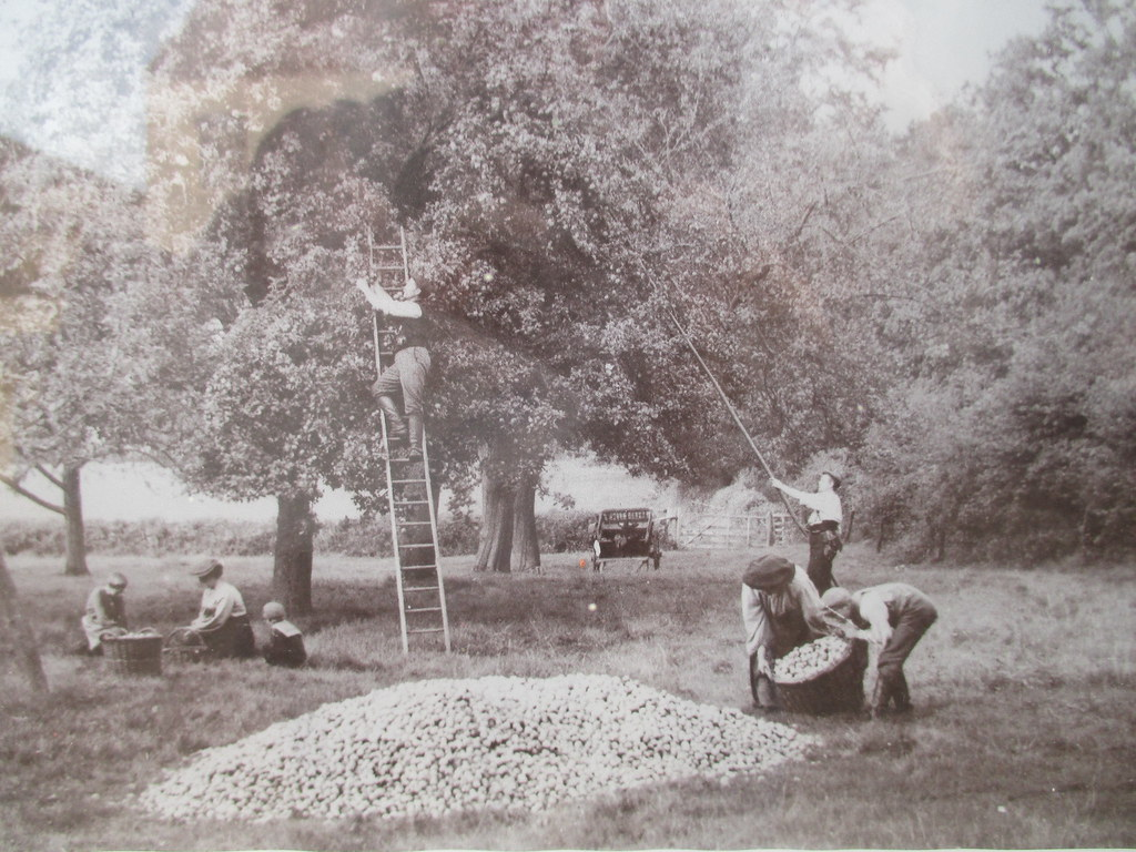 Apple picking, Herefordshire early 1900s