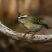 Golden Crowned Kinglet by E_Rick1502
